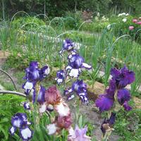 Радуга в саду – величественный ирис. Разнообразие