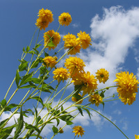 Лучшие высокорослые цветы для создания клумб