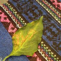 Что с перцем??? Отпадают листья и плоды.
