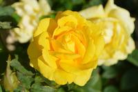 Летняя посадка роз