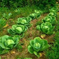 Рядом с какими культурами сажать капусту?
