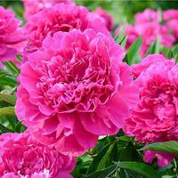 Почему в саду не цветут пионы?