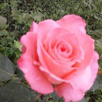 Царство роз в моём саду