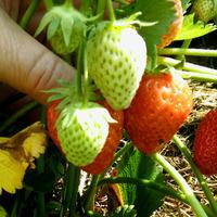 10 июня, фазенда, ягоды.