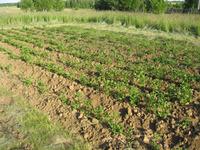 Семенной метод выращивания картофеля