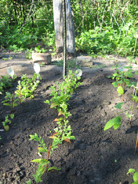 Живые изгороди в саду. Размножение