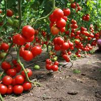 Июнь 2021. мой томатный лес, а так же перцы и огурцы:)
