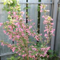 Вейгела – цветущая дважды за сезон. Популярные виды