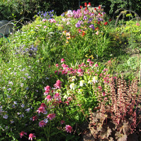 Предлагаю рассаду красивоцветущих травянистых многолетников