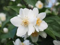 Ароматный садовый жасмин – скромный чубушник