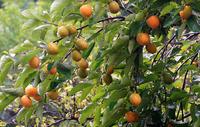 Мой фруктовый сад в Америке. Прививаем новые сорта хурмы