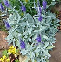 Вероника седая – желанная гостья в садах