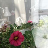 Калибрахоа красивый цветочек.