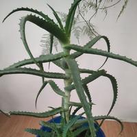 Мои комнатные лекарственные растения