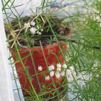 Каскады ароматных соцветий аспарагуса комнатного