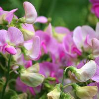 Какие цветы посеять в мае