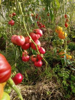 Начало высадки 2021. Перцы, томаты.