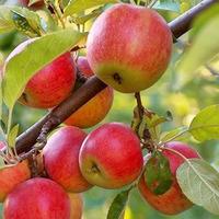 Мечта о прививке плодовых деревьев, осуществилась. Первые пробные шаги.