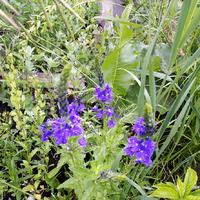 Лекарственные сорняки в саду