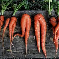 Почему морковка деформируется и трескается?