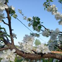 Околоогородные байки или Яблони цветут