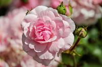 Розы растут, но не цветут - причины