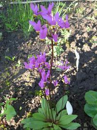 Додекатеон – растение «двенадцати богов». Выращивание