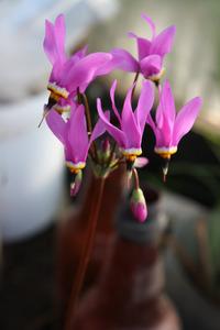 Додекатеон – растение «двенадцати богов». Размножение