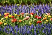 Яркий цветник из ранневесенних луковичных