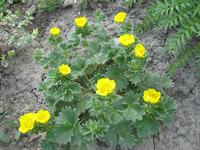 Лапчатка мохнатая – редкое растение наших садов