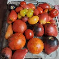 """Томаты серии""""Гном томатный""""... моё знакомство с сортами."""