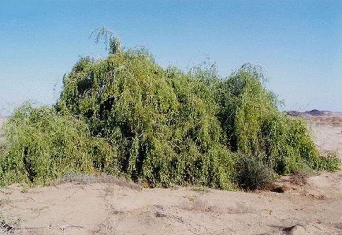 трава арак фото скачать